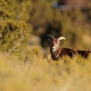 Mouflon méditerranéen
