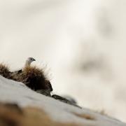 Le lagopède alpin ou perdrix des neiges