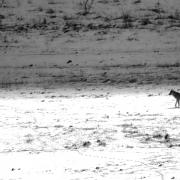 loup des Abruzzes